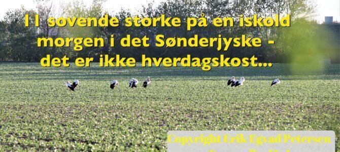 11 sovende storke i det Sønderjyske